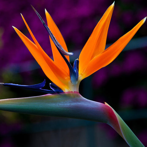 Bird Of Paradise - Flowering Shrubs