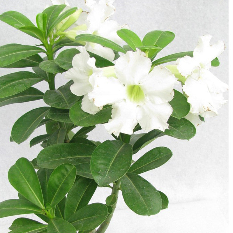 Adenium white flowering plants mightylinksfo