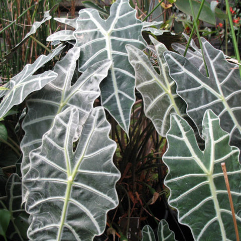 Alocasia Species Assorted - Indoor Plants