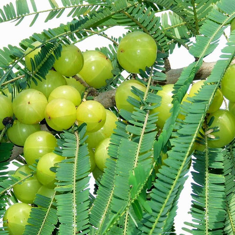 Amla Banaras(Grafted)- Fruit Plants & Tree