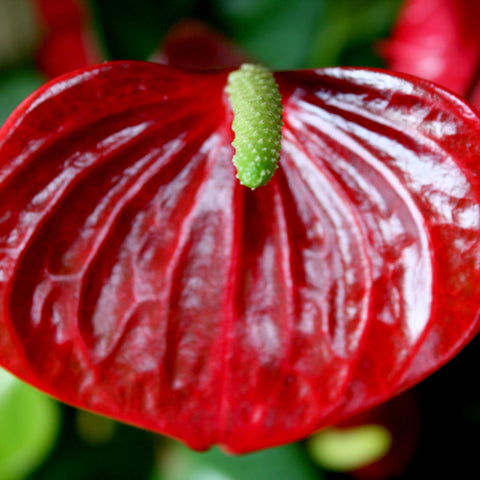 Anthurium Andreanum Red - Gift Plants