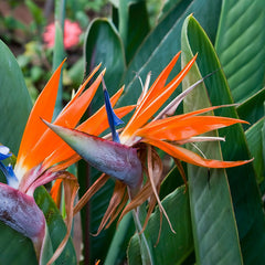 Bird Of Paradise - Flowering Shrubs - Exotic Flora