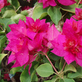 Bougainvillea Dark Pink Double - Creepers & Climbers - Exotic Flora