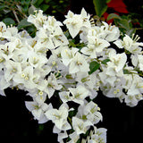Bougainvillea White - Flowering Shrubs