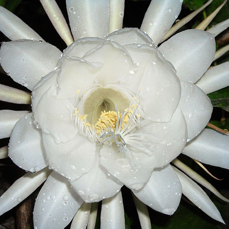 Brahma Kamal, Queen Of The Night - Flowering Plants - Exotic Flora