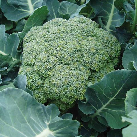 Broccoli Green Star F1-Vegetable Seeds - Exotic Flora