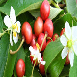 Singapore Cherry/Jamaica Cherry - Fruit Plants & Tree