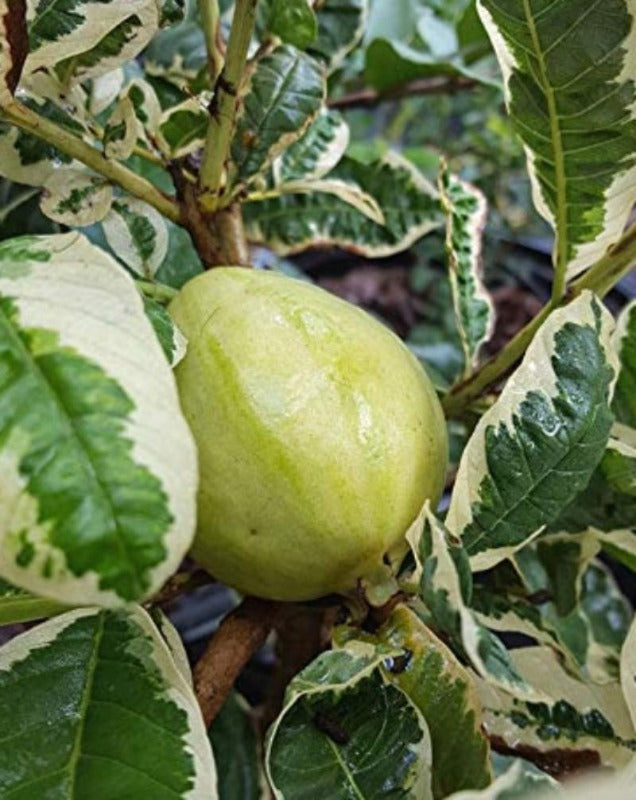 Guava Variegata (Grafted) - Fruit Plants & Trees