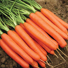 Carrot-Vegetable Seeds - Exotic Flora