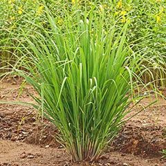 Citronella Grass - Indoor Plants