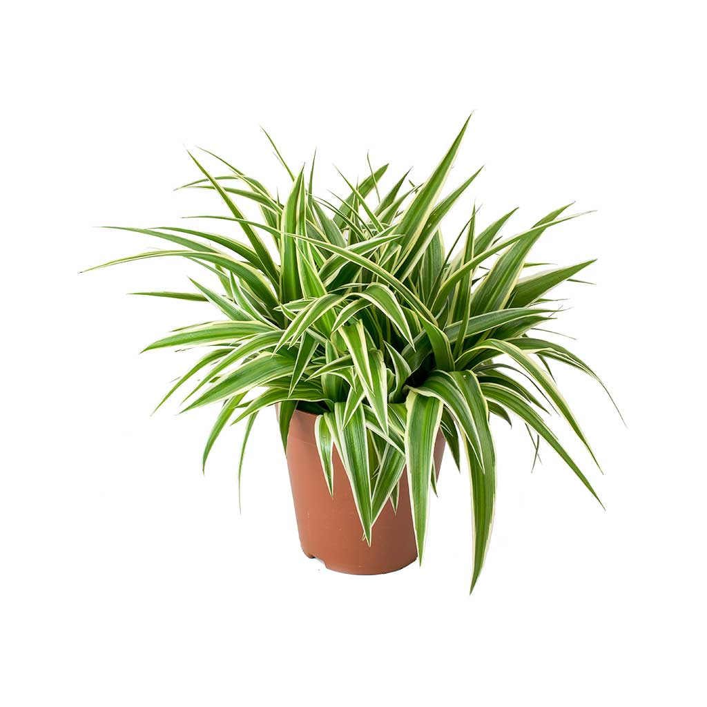 Chlorophytum comosum/Spider Plant - Indoor Air-Purifying