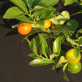 Sweet Lemon(Grafted) - Fruit Plants & Tree