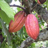 Cocoa  Fruit - Fruit Plants & Tree