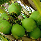 Coconut-Hybrid- Fruit Plants & Tree