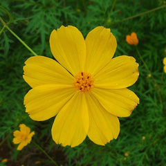 Cosmos-Flower Seeds - Exotic Flora
