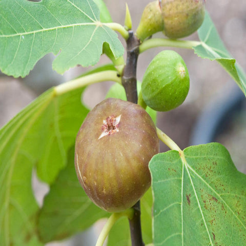 Fig - Big Size Plants