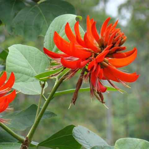 Flame Of The Forest - Avenue Trees - Exotic Flora