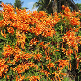 Flaming Trumpet - Creepers & Climbers - Exotic Flora
