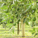 Avocado (Grafted) - Fruit Plants & Tree - Exotic Flora
