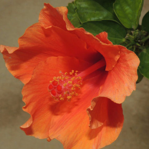 Hibiscus Orange/Goldspot  - Flowering Plants
