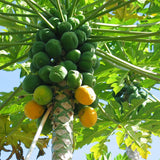 Red Papaya - Fruit Plants & Tree
