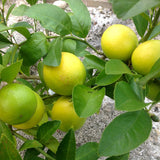 Table Lemon - Fruit Plants & Tree