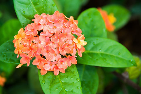 Ixora Semi Dwarf  Orange - Flowering Shrubs
