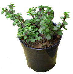 Jade Green - Indoor Plants