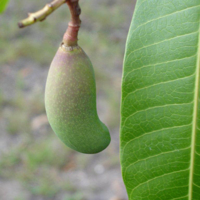 Thailand Mango(Grafted) - Fruit Plants & Tree