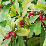 Miracle Fruit - Fruit Plants & Tree