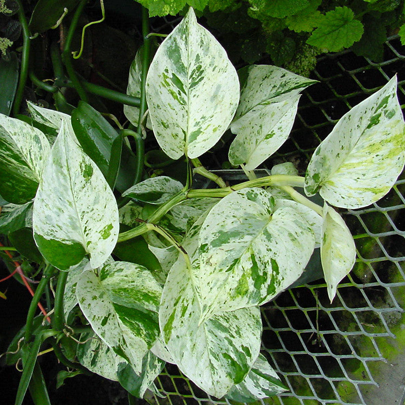 Marble Queen Money Plant - Indoor Plants