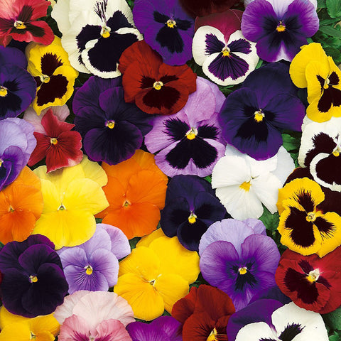 Pansy-Flower Seeds