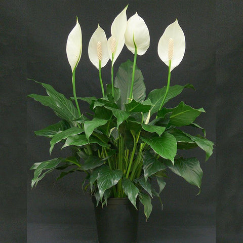 Peace Lily/Spathiphyllum Macrophyllum - Flowering Plants