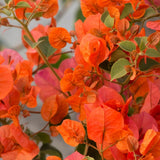 Bougainvillea orange- Flowering shrubs - Exotic Flora