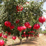 Pomegranate Bhagwa  (Grafted)- Big Size Plants