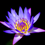 Kamal Water Lily  Purple - Aquatic Plants