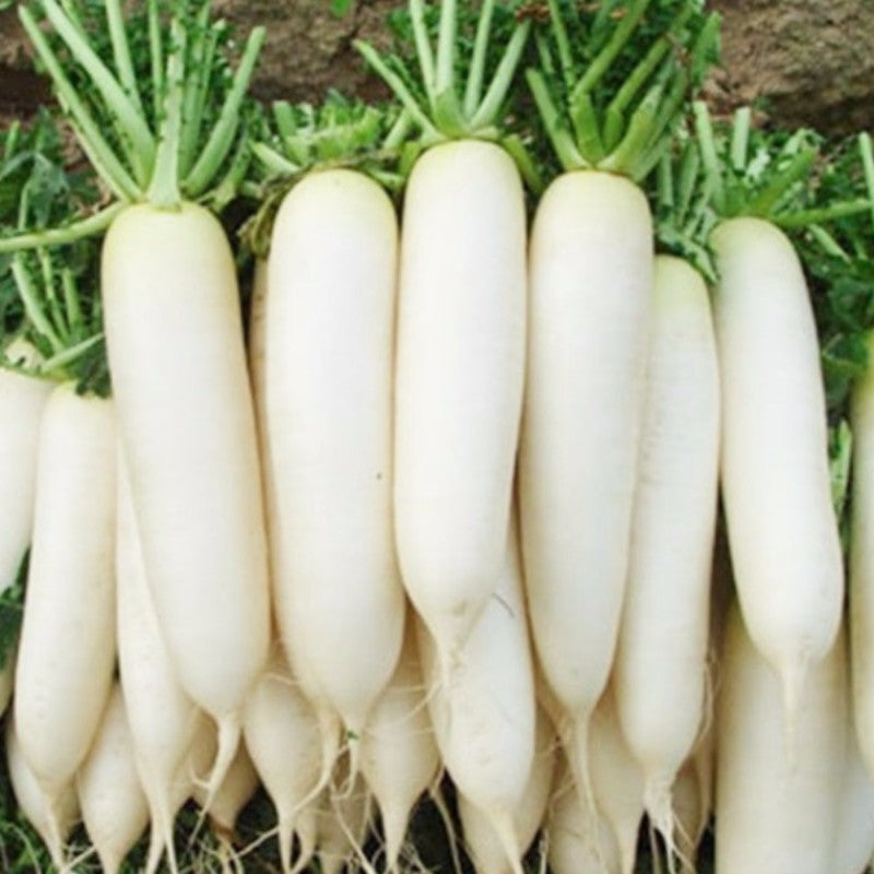 Hybrid Radish- Vegetable Seeds