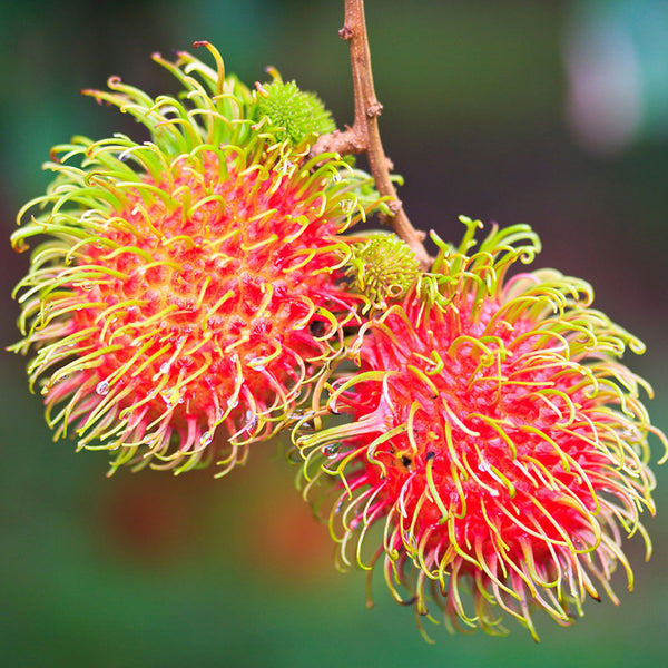 Rambutan (Grafted) - Fruit Plants & Tree – Exotic Space