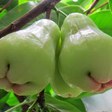 Water Apple Hybrid White(Grafted) - Fruit Plants & Tree