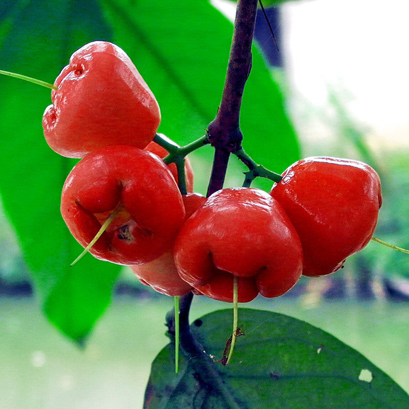 Water Apple Hybrid Red (Grafted)- Fruit Plants & Tree