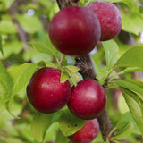 Plum Fruit  (Grafted) - Fruit Plants & Tree