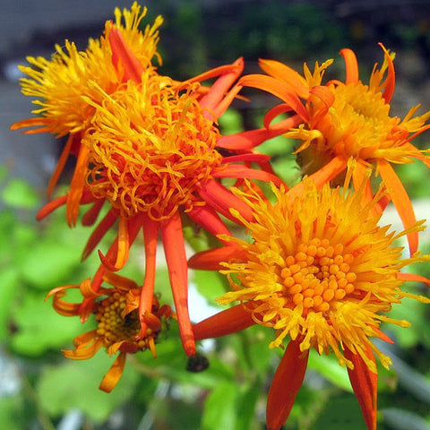 Senecio Orange - Creepers & Climbers