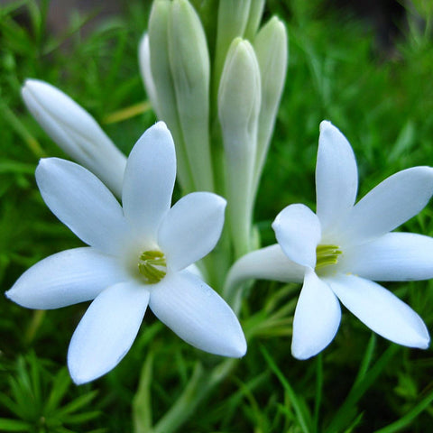 Tuberose/Mexican Tuberose - Flowering Plants