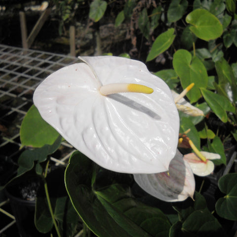 Anthurium Andreanum White - Gift Plants - Exotic Flora