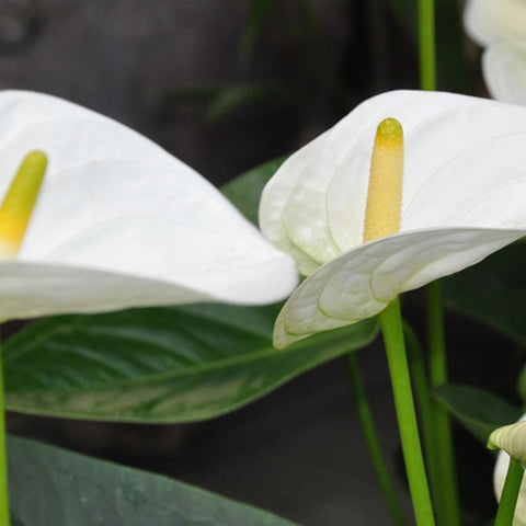 Anthurium Andreanum White - Gift Plants
