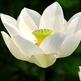 Lotus White - Aquatic Plants
