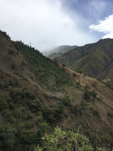 Coffee trees grow on steep, green cliff sides in the Narino region of Colombia