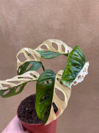 Pre order Variegated Monstera Adansonii plant 1 leaf cutting aerial root -This cutting selected randomly from the plant shown in the picture - Parijat Plant