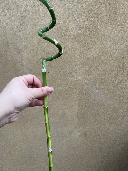 Lucky bamboo stick - 45-50cm long - rooted lucky bamboo stick - Parijat Plant