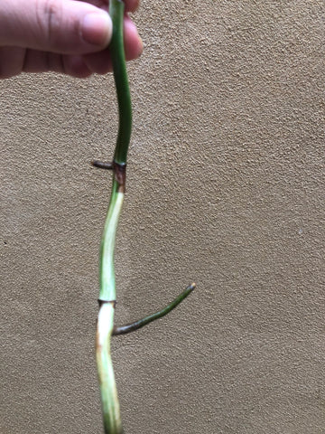 Variegated monstera stem cutting- Monstera deliciosa 'Variegata'  albo 1  stick with aerial root - Parijat Plant